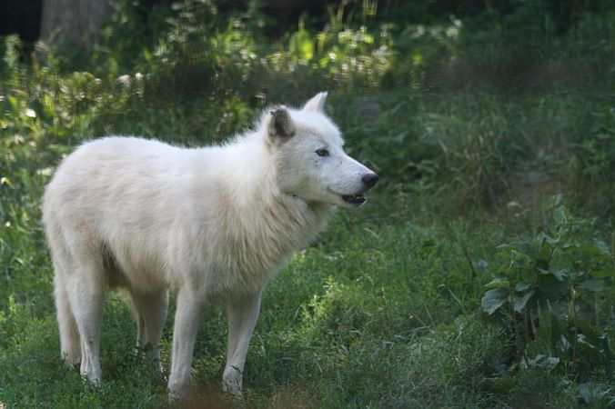 An arctic wolf. Taken at the Toronto Zoo with a Canon EOS 350D & 70-300mm f4-5.6 IS USM lens. – Ber'Zophus